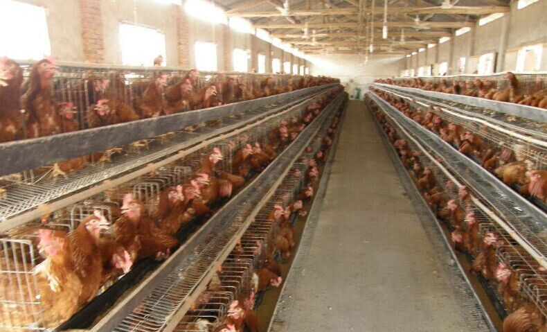 鸡2.jpg